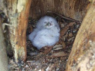 Owl chicks 1 - April 2012 - TC