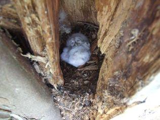 Owl Chicks 3 - April 2012 - TC