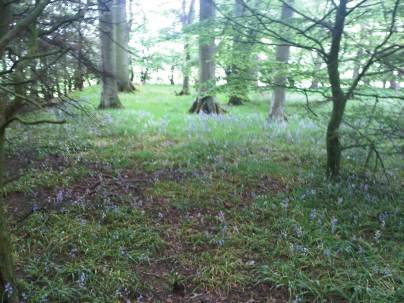 Our bluebell woodland