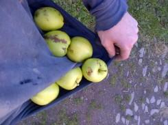 First Apple Harvest -20121021