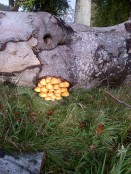 Honey fungus -20121020