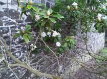 A White Rhododendrum - a rarity the head gardeners tell me.