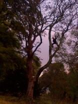Tree Surgery 2 -20121020