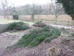 Yew clear up - 09022013