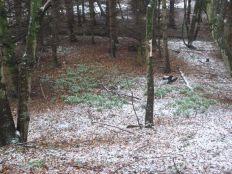 Snowdrops - 16032013