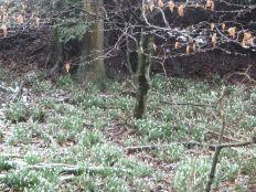 Snowdrops 3 - 16032013