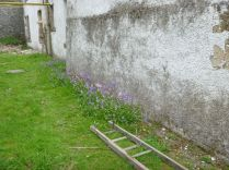 Bluebells at side of house - 26052013