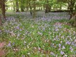 Bluebells in woods 2 - 040613