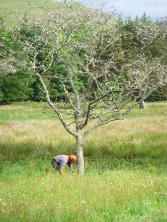 Dead tree felling 5 - 23062013