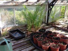 Greenhouse seedlings 2 - 020613
