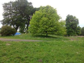 Lime tree - 090613