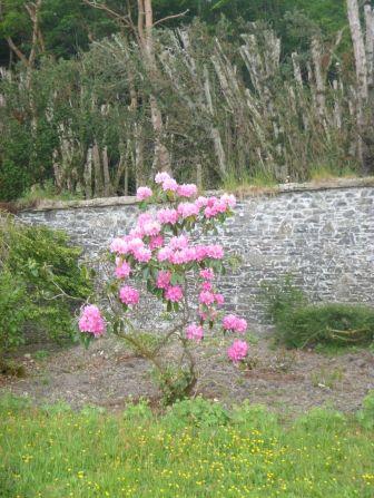 Pink Rhod - 130613
