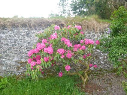 Pink Rhod 2 - 130613
