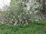 SWG - apple blosspm - 040613