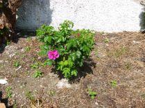 Rose garden - pink - 07072013