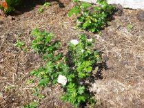 Rose garden - whites - 07072013