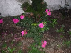 Rose garden - pinks - 28082013