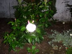 Rose garden - white - 28082013