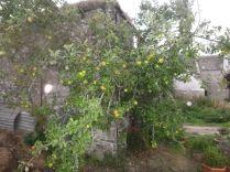 Apple Tree 1 - 01092013