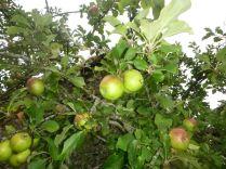 Apple Tree 1 - fruit - 01092013