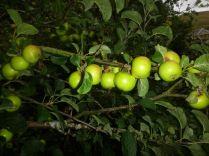 Apple Tree 10 - fruit - 01092013