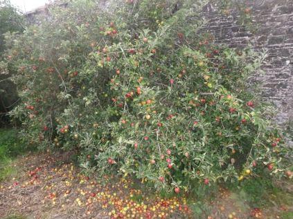 Apple Tree 2 - 01092013