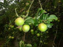 Apple Tree 5 - fruit - 01092013