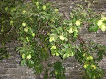 Apple Tree 8 - 01092013