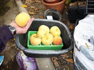 Peach harvest 2 - 13092013