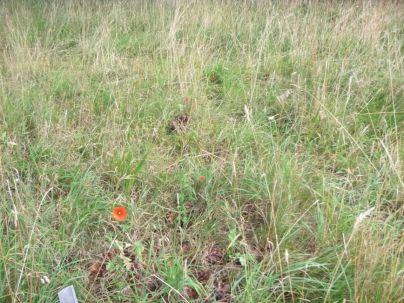Poppies - 13092013