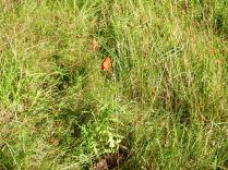 Poppies 2 - 29092013
