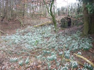 Snowdrops in the woods 2 - 23032014