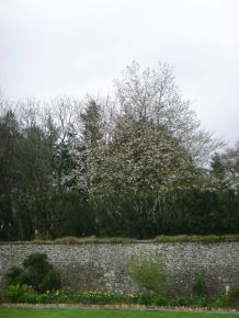 Blossom on tree in woods - 27042014