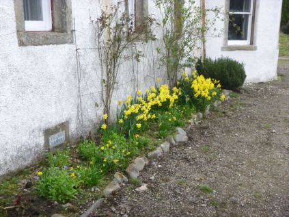 Daffodils at front - 12042014