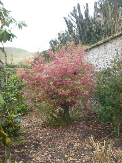Flowering currant - 13042014