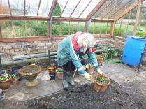 Mum planting up - 13042014