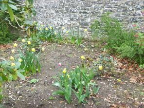Tulips emerging - 28042014