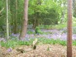 Bluebells in the woods 1 - 18052014