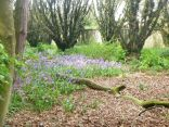 Bluebells in the woods 2 - 18052014