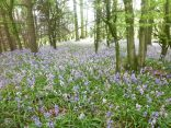 Bluebells in the woods 3 - 18052014