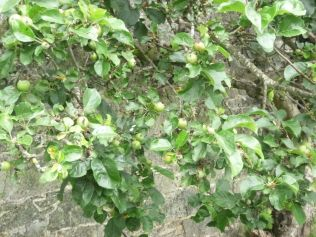 Apples - 21062014