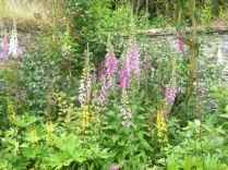 Foxgloves 2 - 21062014