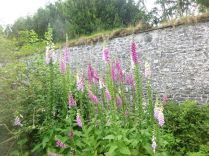 Foxgloves - 29062014