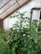 Tomatoes in the glasshouse - 29062014