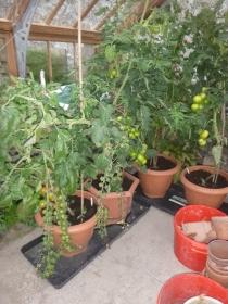 Tomatoes - 19082104