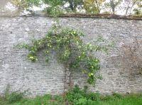 Apple tree - 11092014