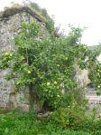 Apple tree 2 - 11092014