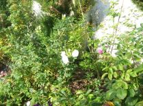 Roses - 29092014