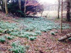 Snowdrops 1 - March 2015 - TC