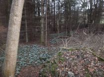 Snowdrops in the woods 1 - 27022015